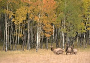 Elk and Fall Foliage by John F Williams Photography in Rocky Mountain National Park