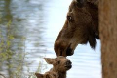 Moose Mama and Twins by John F Williams Photography